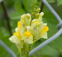 Butter and Eggs (Linaria Vulgaris) by Mike Oxley