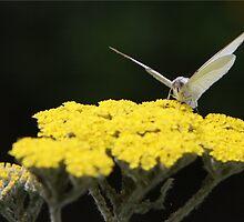 Butterfly on yarrow by KristyWalker