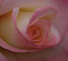 Sweet Soft Rose by KristyWalker