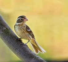 Lady grosbeak by Kathy Weaver