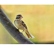 Lady grosbeak Photographic Print