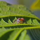 Little jumping spider by Rick Fin
