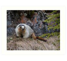 Hoary Marmot Art Print