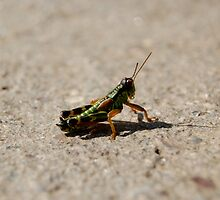 Green Cricket by Alastair Johnston