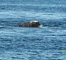 Face only a mother could love!  Right whale by Linda Jackson