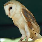 Barn Owl by Mick Smith