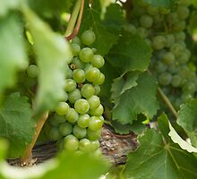 Grapes by Chris Parker