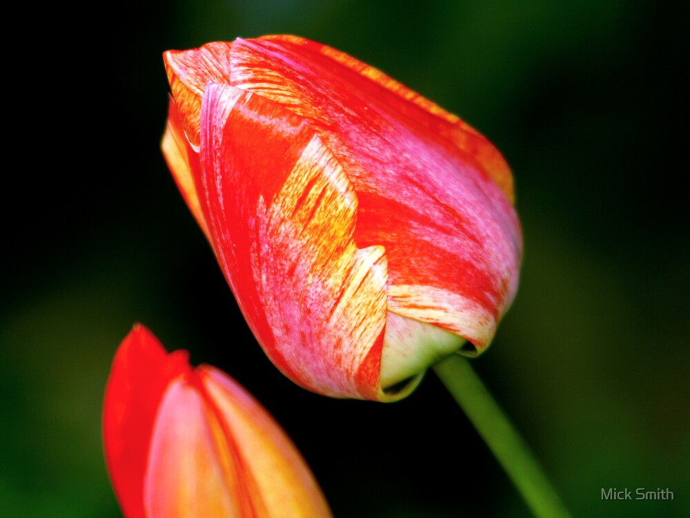 Tulip by Mick Smith