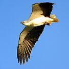 White-bellied Sea-Eagle Marlo Vic. by helmutk