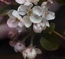 Apple blossoms by walstraasart