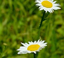 Two Daisies by Scott Mitchell