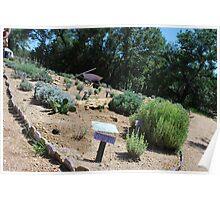 Lavender Varietal Garden Poster