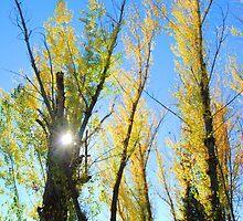 sunlight thru cottonwoods by Lenny La Rue, IPA