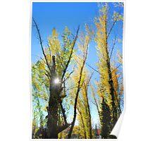 sunlight thru cottonwoods Poster
