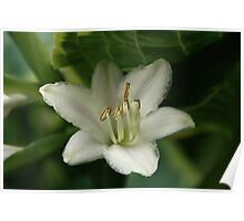 Hiding Hosta Flower Poster