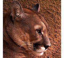 Cougar #2 Photographic Print