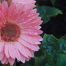watered daisies by JenniferJW