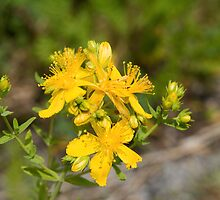 Common St. John's-Wort (Hypericum perforatum) by Mike Oxley