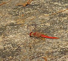 Red Dragonfly by Vanessa Barklay
