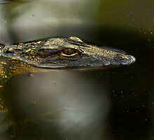 Gator Profile by Michael Wolf