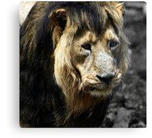 Ashok the Asiatic Lion Canvas Print