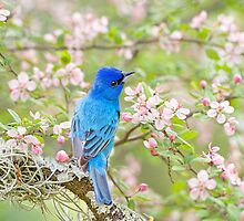 Indigo Bunting in Spring Time by Bonnie T.  Barry
