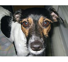Jack Russell Terrier Dog Photographic Print