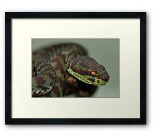 KANBURIAN PIT VIPER Framed Print