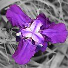 Simply Iris by Ashli Zis