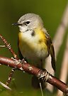 American Redstart (female) by Todd Weeks