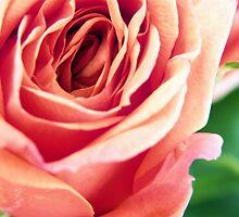 Vintage Rose 2 by Stephanie Stonato