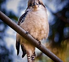 Kookaburra on the Hills Hoist by Tony Steinberg