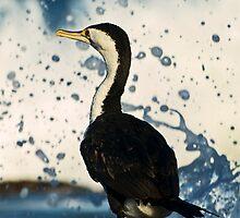 Pied Cormorant by Tony Steinberg