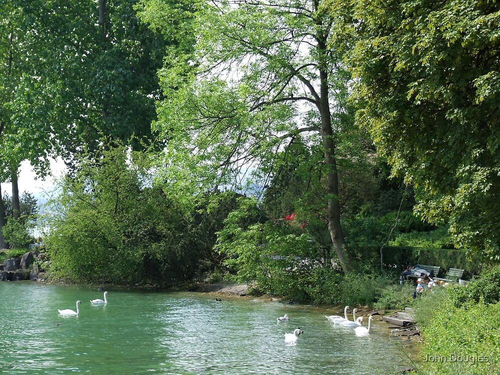 Swans, Lake: Zurich by John Douglas