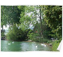 Swans, Lake: Zurich Poster