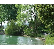 Swans, Lake: Zurich Photographic Print