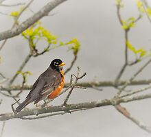 Mr. Robin by Poete100