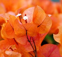 Orange Bougainville by Renee Hubbard Fine Art Photography