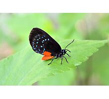 Florida Atala Butterfly Photographic Print