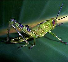 Green Grasshopper by JuliaWright