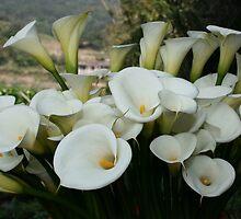 Calla Lilies growing at Lily Plantation, Taiwan  by photoslot