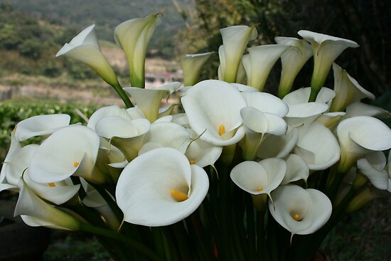 Calla Lilies growing at Lily Plantation, Taiwan  by photoslot