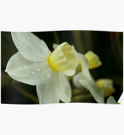 Late Winter Daffodils Poster