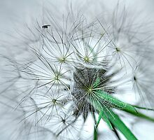 Fly on dandelion by Roberto Pagani