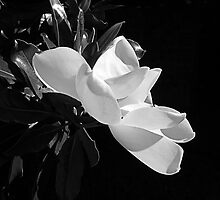 Magnolia by tausterl