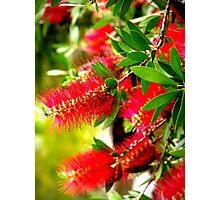Bottle Brush Tree Photographic Print