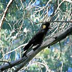 Black-Cockatoo. by elphonline