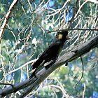 Black-Cockatoo. by elphonline