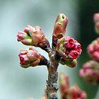 Spring Buddings II by Lana Kole