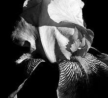 Iris by Renee Dawson